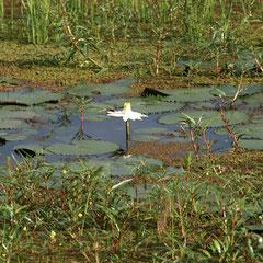 eine einsame Wasserblum