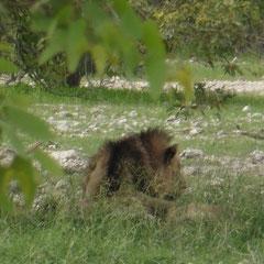 ein Löwenmännchen im Schatten