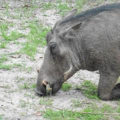 das Warzenschwein muss zum Fressen auf die Knie