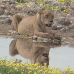 und ein Weibchen am Wasserloch