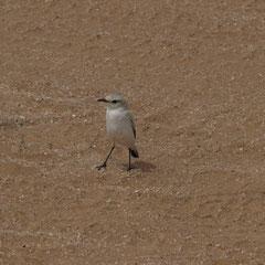 selbst Vögel findet ma n in der Wüste