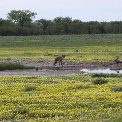 diese Hyäne wollte sich an der Beute der Löwen beteiligen und wurde vertrieben