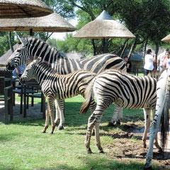 Zebras mischen sich unter die Gäste der Lodge