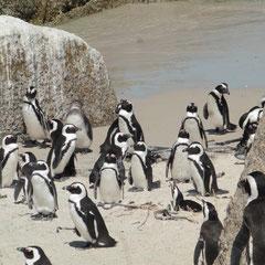Pinguinkolonie