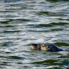 Seehund vor Hvide Sande