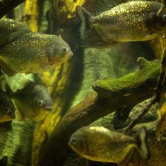 Dänische Piranhas, vorsicht vor Dänischen Flüssen :-)