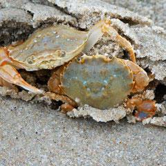 Krabben am Strand