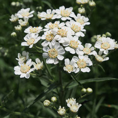 Achillea Ptarmica (Sumpf-Schafgarbe)