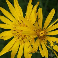 Tragopogon pratensis (Wiesen-Bocksbart)