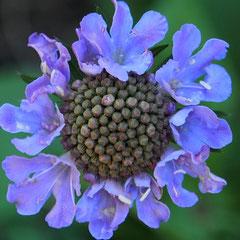 Scabiosa columbaria (Tauben-Skabiose)