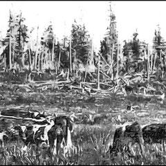 Groupe d'animaux durhams sur la ferme St-Georges (1908)