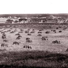Baie Ste-Claire (1901)  la moisson