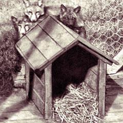 Élevage de renards argentés, 1905