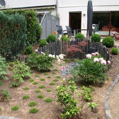 tuin direct na aanplant met pioenrozen en stelen van leisteen