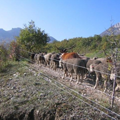 A migrating herd on the  Rougnouse track