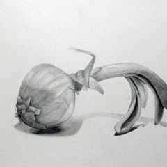 Zwiebel, Bleistift, ca. 18 x 24 xm