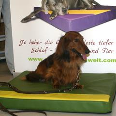 Ferro vom Schachenwald österreichischer Champion, Deckrüde, Langhaardackel Standard auf dem medizinischen Hundebett von Lectus pro canibus