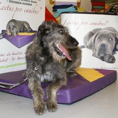 Irischer Wolfshund auf XL Lectus pro canibus Hundebett speziell für Riesenrassen entwickelt