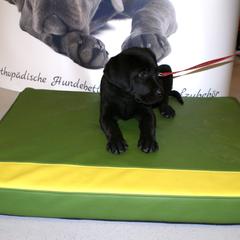 Sogar die Kleinsten wollen gut gebettet sein - gesunde Hundebetten von Lectus pro canibus