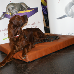 Setterdame Lillybeth from Imperial Oak Stud fühlt sich wohl auf dem medizinischem Hundebett Lectus pro canibus medLine aus dem Hause Gesunde Hundewelt