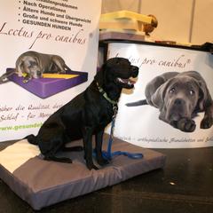 ASB Staffel Burgenland - schwarze Labradorhündin Cake auf dem reinem Visko Hundebett Lectus pro canibus