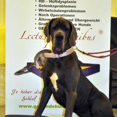 XXL Hundebetten mit Viskoschaum für XL Hunderassen wie Deutsche Doggen um eine Druckentlastung beim Liegen zu erzielen