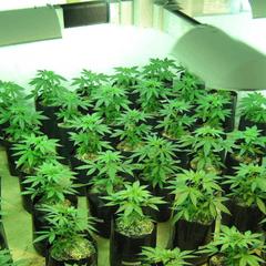 cannabis pflanzen im mittleren alter - wachstum
