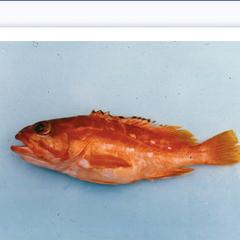 地元の魚屋さんで初めてアカハタという魚をみました。伊豆新島や大島で取れる高級魚だそうです。上の写真は東京都島嶼農林水産センターに載っていました。