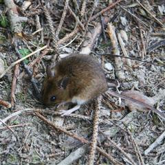 wilde Maus, Wildalpen