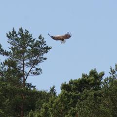 Seeadler, Norwegen