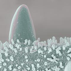 Mikrokosmos - Pollen