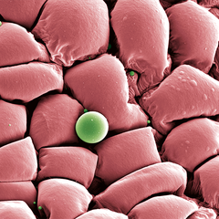 Herumkugeln – Echinops sp., Staubblatt, Oberfläche, Foto: Halbritter Heidemarie, koloriert: Ulrich Silvia, 2018, 80x60 cm, Druck auf Alu
