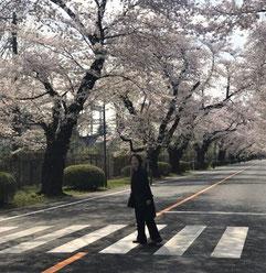 本社三鷹は、桜の名所。ICU(国際基督教大学)構内の桜並木と横断歩道。(ロンドンではありません)