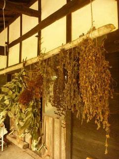 草木染めに使う植物を採取して乾燥中。