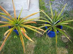 パイナップル:植え込みから一年半。