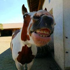 Zahnprobleme beim Pferd