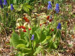 赤花の宿根サクラソウとムスカリー