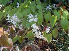 トキワイカリソウ白花