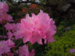 「春一番」花アップ