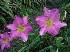 「水中花」オリジナル品種