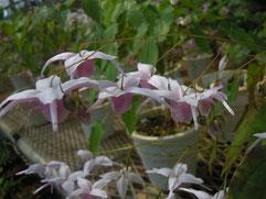 しっかりとした広い厚弁の藤色花