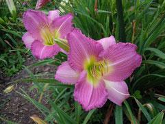 「紫雨情」オリジナル品種