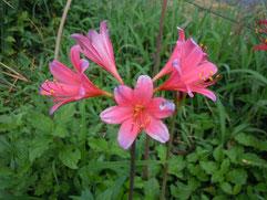 広弁のスプレンギツネ(実生花)