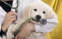 Un chiot blanc chez le veterinaire tient un stéthoscope dans sa gueule par coach canin 16 éducateur canin en charente