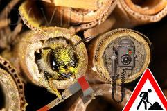Solitäre Wildbiene Fotomontage Insektenhotel Insektennisthilfe Werner David