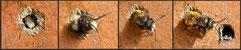 Gehörnte Mauerbiene Osmia cornuta Schlupf  insect nesting aid insect hotel mason bee terra cotta wildbee