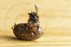 Naturgartenbalkon: Eine Rostrote Mauerbiene erblickt das Licht der Welt