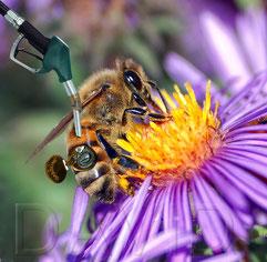 Honigbiene Fotomontage