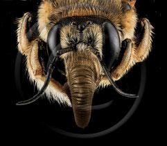 Die Tschernobyl-Biene besticht vor allem durch ihren gewaltigen Rüssel