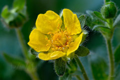 Frühlingsfingerkraut  Potentilla neumanniana spring cinquefoil or spotted cinquefoil wildlife garden balcony native plants balcony through